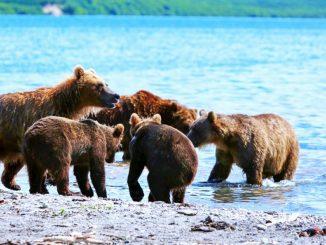 Bären Kamtschatka