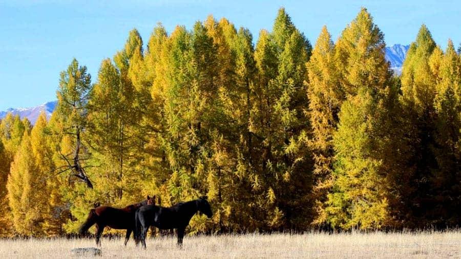 Aktru-Trekking-Pferde-Natur